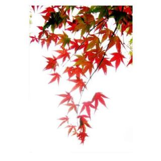 Trademark Fine Art 14 in. x 20 in. Japanese Maple Leaves Canvas Art KS102 C1420GG