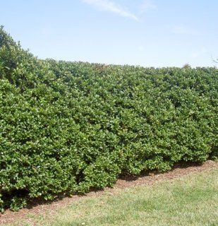 Wax Leaf Ligustrum   3 Gallon : Shrub Plants : Patio, Lawn & Garden
