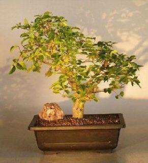 Bonsai Boy's Flowering Ligustrum Bonsai Tree ligustrum lucidum  Bonsai Plants  Patio, Lawn & Garden