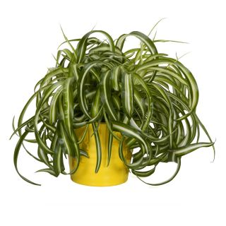 Exotic angel plants 8 0 hanging basket rhipsalis trailing for How to take care of exotic angel plants