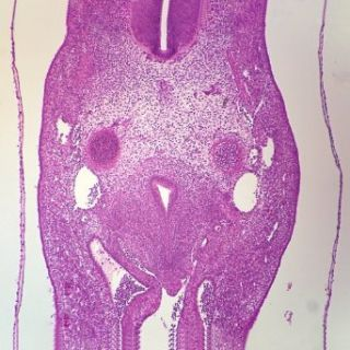 Mammal Mesenchyme, sec. 7 H&E Microscope Slide: Industrial & Scientific
