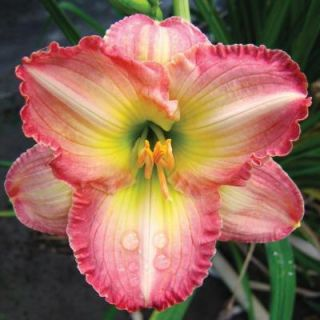 Martha Stewart Living Daylily Frosted Vintage Ruffles Bare Root Dormant Plants (8 Pack) 70175